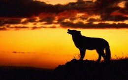 Wolf at sunset