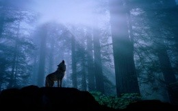 Wolf in the woods howling at the moon