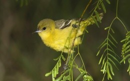 Yellow bird on a thin branch