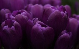 Beautiful purple tulips