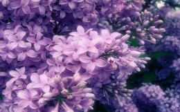Blooming lilacs, wallpaper