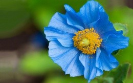 Blue flower with blurred background wallpaper widescreen high definition