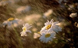 chamomile and rain