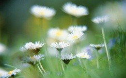Chamomile flowers, wallpaper for Mac OS X TIger high-resolution color theme