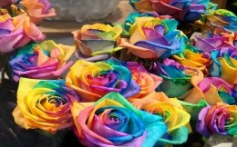 colored roses