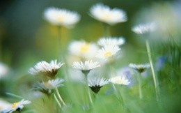 Daisies in a field photo screensaver for your desktop