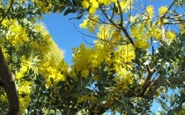 Flowering tree with yellow flowers