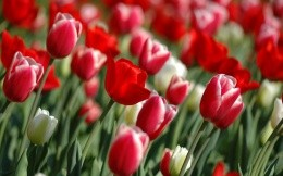 Flowers, red tulips