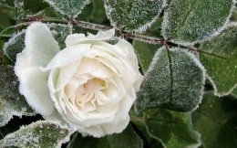 Frozen white rose