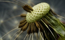 Macro dandelion photo wallpaper
