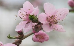 Pink flowers of blossoming tree