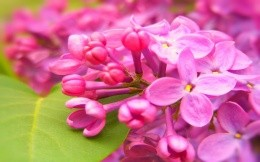 pink flowers of lilac, yapkie wallpaper on your desktop