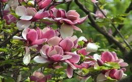 Pink magnolia, photo wallpaper