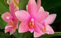 Pink orchid, closeup photo