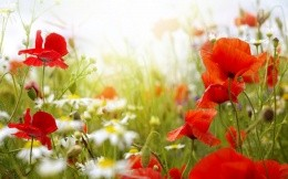 Poppies and daisies field