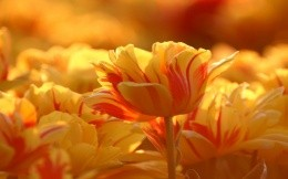 red and yellow tulips photo wallpaper