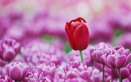 Red tulip among pink