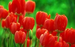 Red tulips on a lawn
