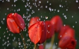 The buds of red tulips