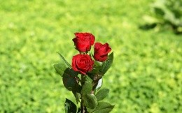 Three red roses with green grass in the background