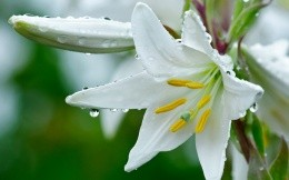 White lily and drops of dew
