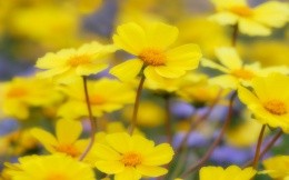 Yellow flowers in the meadow, wallpaper.