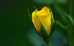 yellow rose unblown