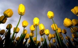 Yellow tulips - separation bulletins