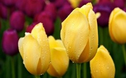 Yellow tulips with dew