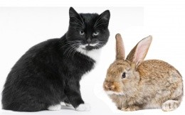 2011 Year of the Rabbit (Cat)