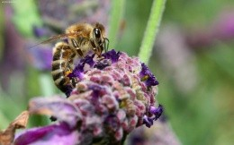 A bee on a flower, widescreen wallpapers, insects