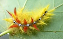 Beautiful, bright and fluffy caterpillar on a leaf, section insects