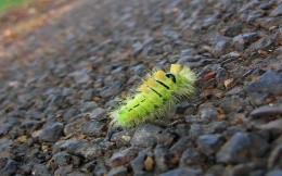 Bright green caterpillar