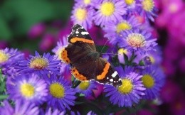 Butterfly among the purple flowers