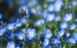 Butterfly flowers forget-me-