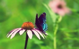 Butterfly on overblown Gerbera, photo 1920x1200.