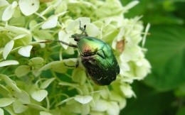 Chafers