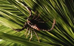 Deadly scorpion on palm leaf