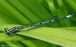 Insect - wallpaper, dragonfly on a leaf, green nature, insects