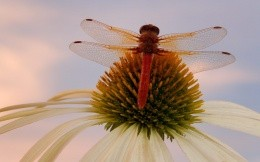 Insects - a dragonfly on a flower, the image on your desktop