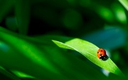 Ladybird on a blade of grass, high-resolution photo 1920x1200.