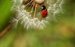 Ladybird on dandelion