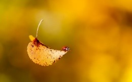 Ladybug in the autumn leaves are falling