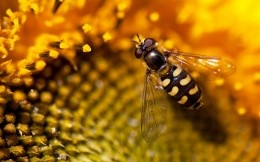 Macro photo shooting wasp on a flower, great wallpaper for your computer desktop.