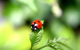 photo wallpaper ladybug