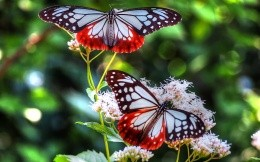 Two colorful butterflies on flowers