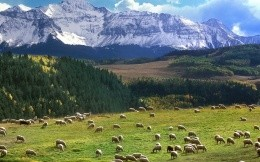Mountain sheep herd