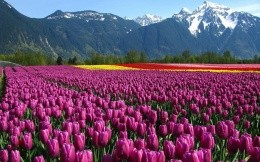 Mountain tulips