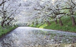 Blossoming cherry and the river
