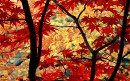 Bright red and yellow leaves on the trees - autumn and nature wallpapers.